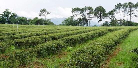東方美人の幼木茶園