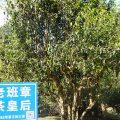 セミナー「プーアル茶・古樹茶ブームの最前線」